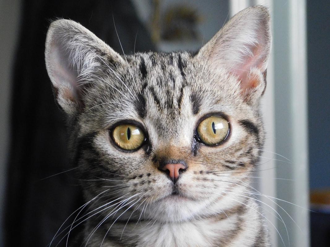 American Shorthair - Kokiri Cats
